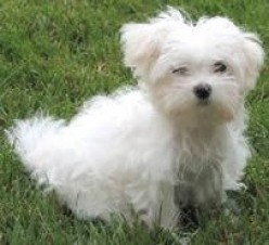About Maltese dogs