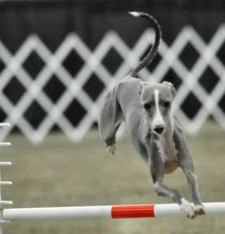 Dash flying around the agility course