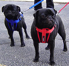 Markl and Calcifer in their EzyDog Harnesses