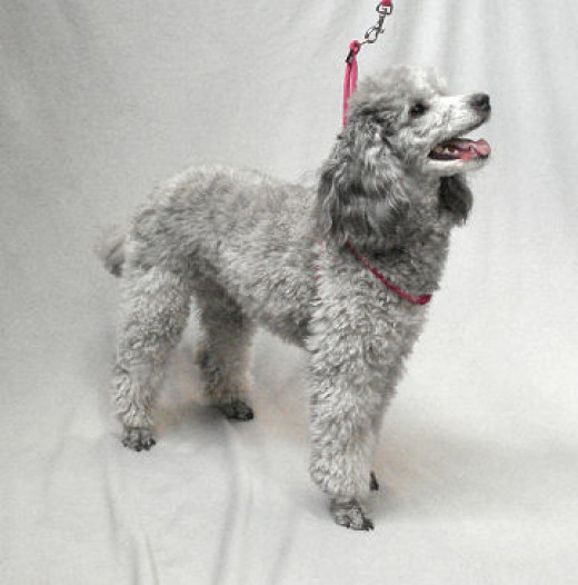 Lexi (Miniature Poodle) is pretty in pink!