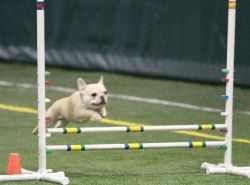 Teddy playing agility