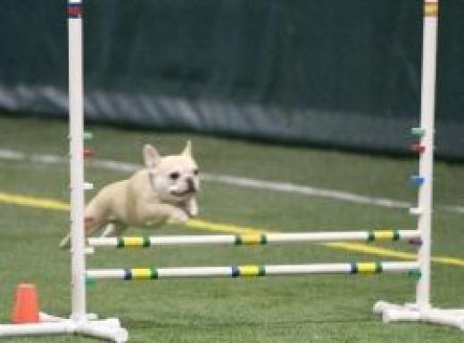 Teddy playing agility