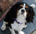 Great stuff for Cavalier King Charles Spaniels!