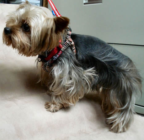 Jack (Yorkie) in his Plaid Step-in Harness