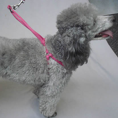 Lexi (Miniatue Poodle) in the Pink Rolled Microfiber Step-in Harness