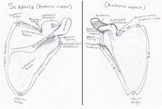 Right Scapula Bone