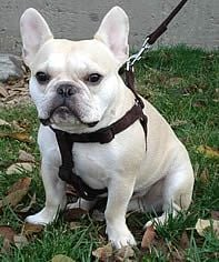 Teddy (French Bulldog) sports the brown Microfiber Step-in Harness