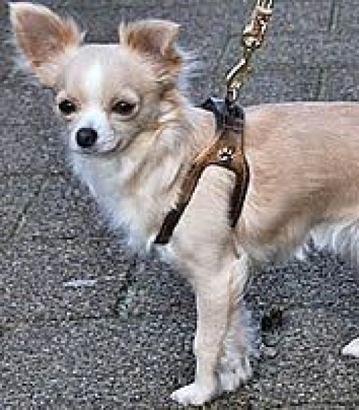 Maddy (Chihuahua) in her Bronze Choke Free Shoulder Collar