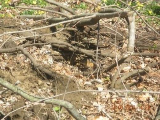 Can you find a chipmunk?