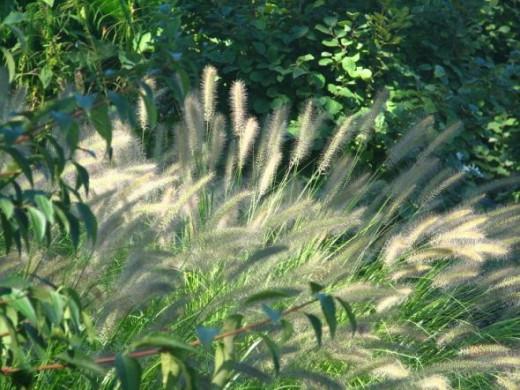 Grasses at Wellfield Botanic Garden