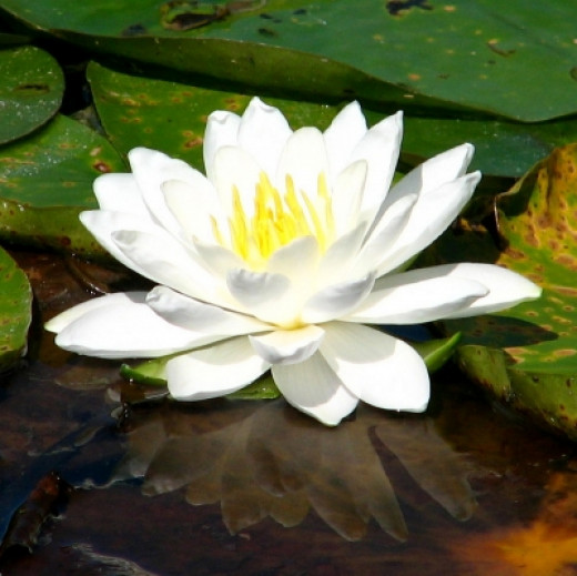 Classic Water Lily Blossom