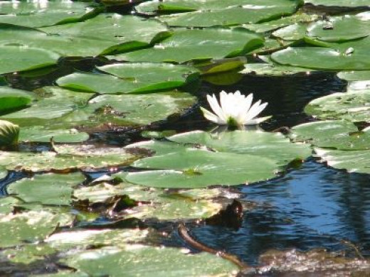 Monet Was Inspired By Water Lilies