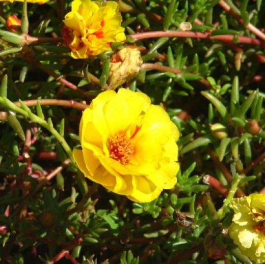 Moss Roses at Wellfield Gardens