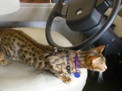 One of our cats with its AVID pet ID tag on the collar in our motorhome.