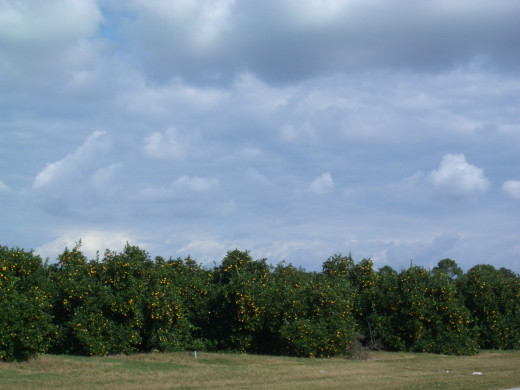 This Florida orange grove by my house is good for more than just orange juice. Citrus Magic is made from the all-natural oils obtained from citrus peels!