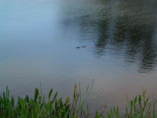 A Florida Gator! Yes, This is Why You Need a Golf Ball Retriever!