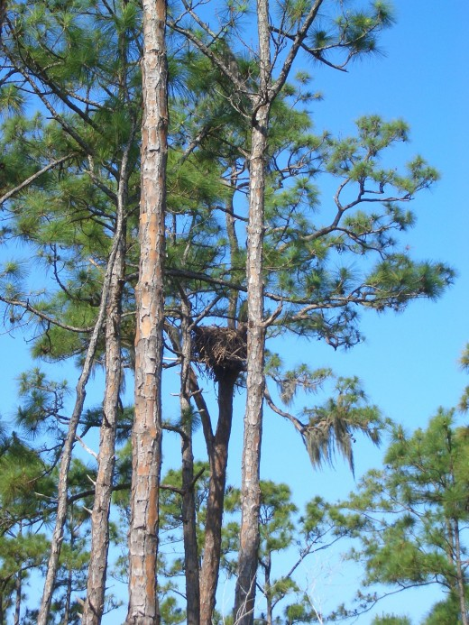 I was able to capture this incredible Eagle's nest while my husband was looking for that little white ball!