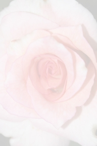 Rose background  (Source: Cheryl Rogers)