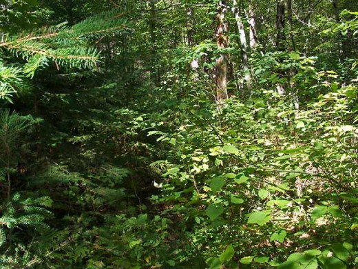 This Forest is overgrown. There are lots of places for mosquitoes to hide.