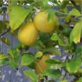 Making Use of Lemons - Saving Juice and Recipes!