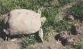 Bo and Bella, Our Endangered California Desert Tortoises