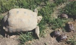 Bo and Bella, Our Endangered California Desert Tortoises