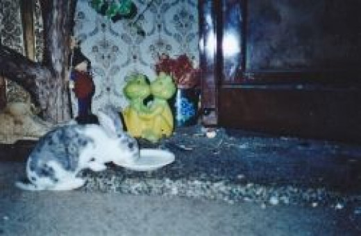 Bugsy was our pet rabbit, he is having a drink, he loved milk. Photo Credit - Elsie Hagley