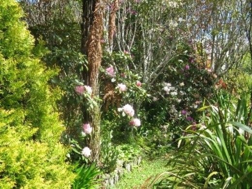 Rhododendrons pathway, these are scented, beautiful smell as you walk along the path.