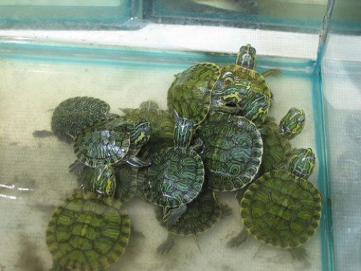 Feeding Natural Food To Your Red Eared Slider