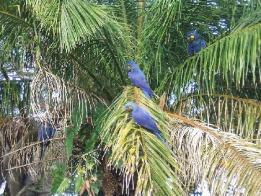 Hyacinth macaws in their natural habitat, the Pantanal, Bolivia.
