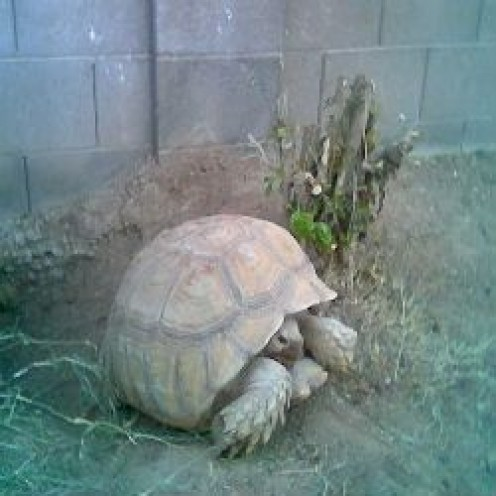 Building an Outdoor Habitat for a Sulcata Tortoise