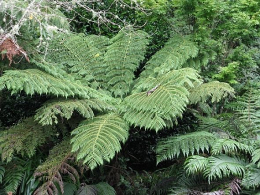 Silver Fern (ponga is the maori name). Photo Credit - Elsie Hagley