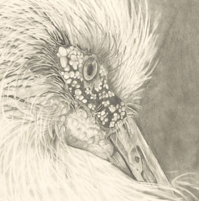 Detail from the pencil drawing by Mona Majorowicz