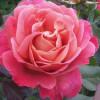 roseambrose profile image