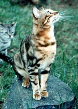 Photo of Bengal Cat by Mona Majorowicz