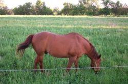 chicory grazing