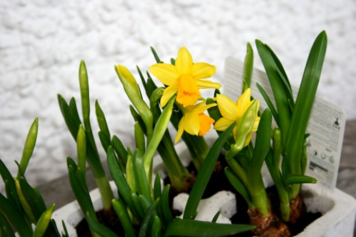 Daffodils for sale