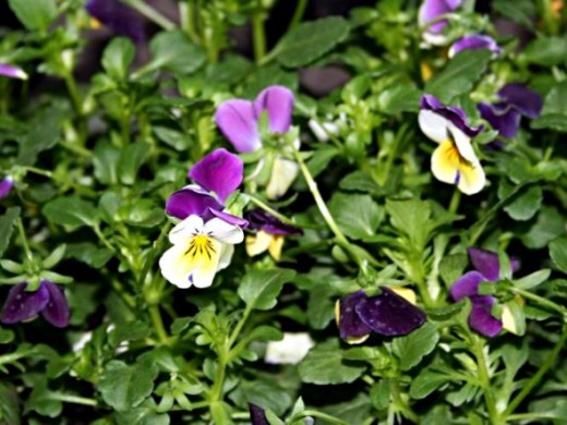 Small flowered pansies