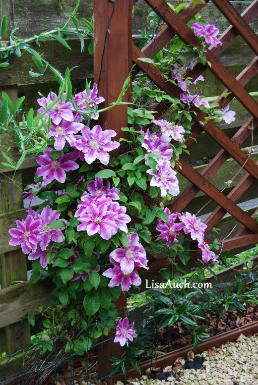 Year 2 clematis. Just overnight the flowers burst open, Last year I only had 2 flowers :)