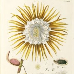 About Georg Dionysius Ehret - Famous Botanical Artist