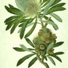 About Sydney Parkinson - Botanical Artist