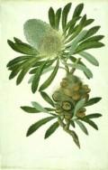 About Sydney Parkinson - Botanical Artist
