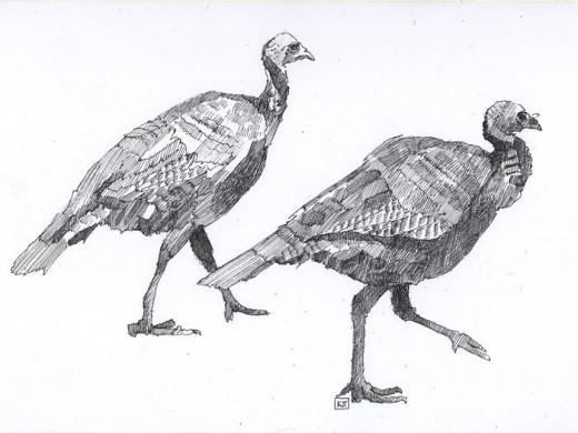 """""""The Turkey Trot"""" pen and ink drawing by the author Katherine Tyrrell  (Thanks to Dan Smith 'Turkeys on path' - This file is licensed under the Creative Commons Attribution-Share Alike 2.0 Generic license.)"""