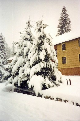 Beautiful fir trees, heavy with snow.