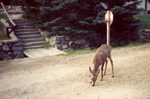 A yearling wandering the main road of the village.