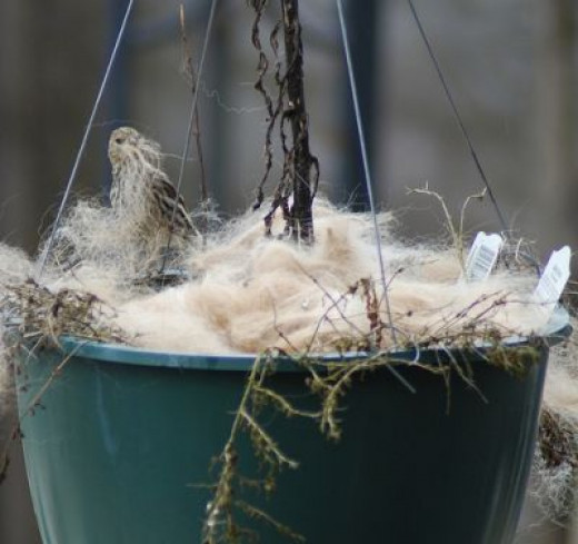 Here is Fur that was put in a Hanging Pot and the birds came and used it for a nest