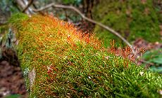 Red moss capsules (Photo courtesy by Arielle from Flickr)