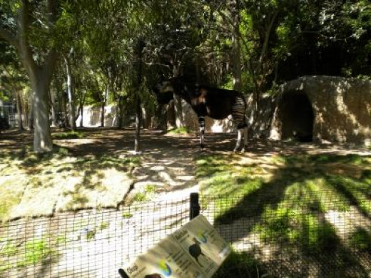 Okapi - San Diego Zoo