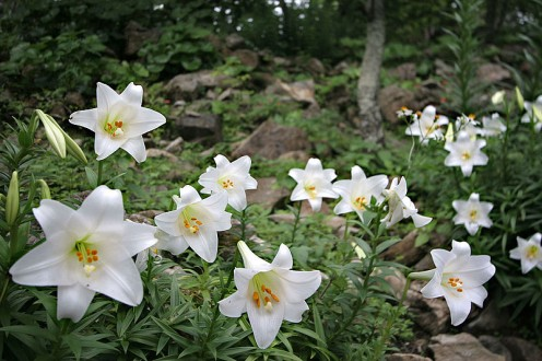 Easter lilies in the woods.