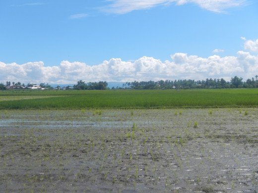 Newly planted rice field